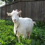 Коза - главная помощница на подворье