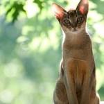 Эти прекрасные кошки - абиссинки