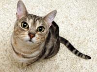 Избавляемся от запаха мочи кошек в доме