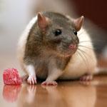 Стоит ли заводить декоративную крысу