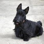 Скотч-терьер как домашняя собака