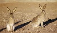 дикие зайцы