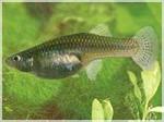 гамбузия рыбка