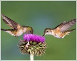 колибри пьют нектар