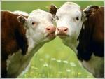 коровы1
