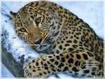 леопард Елисей