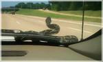 змея на капоте