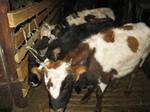 героические коровы