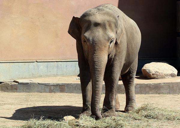 Советский Союз согласился их принять, и слоны ещё раз пересекли океан. . К